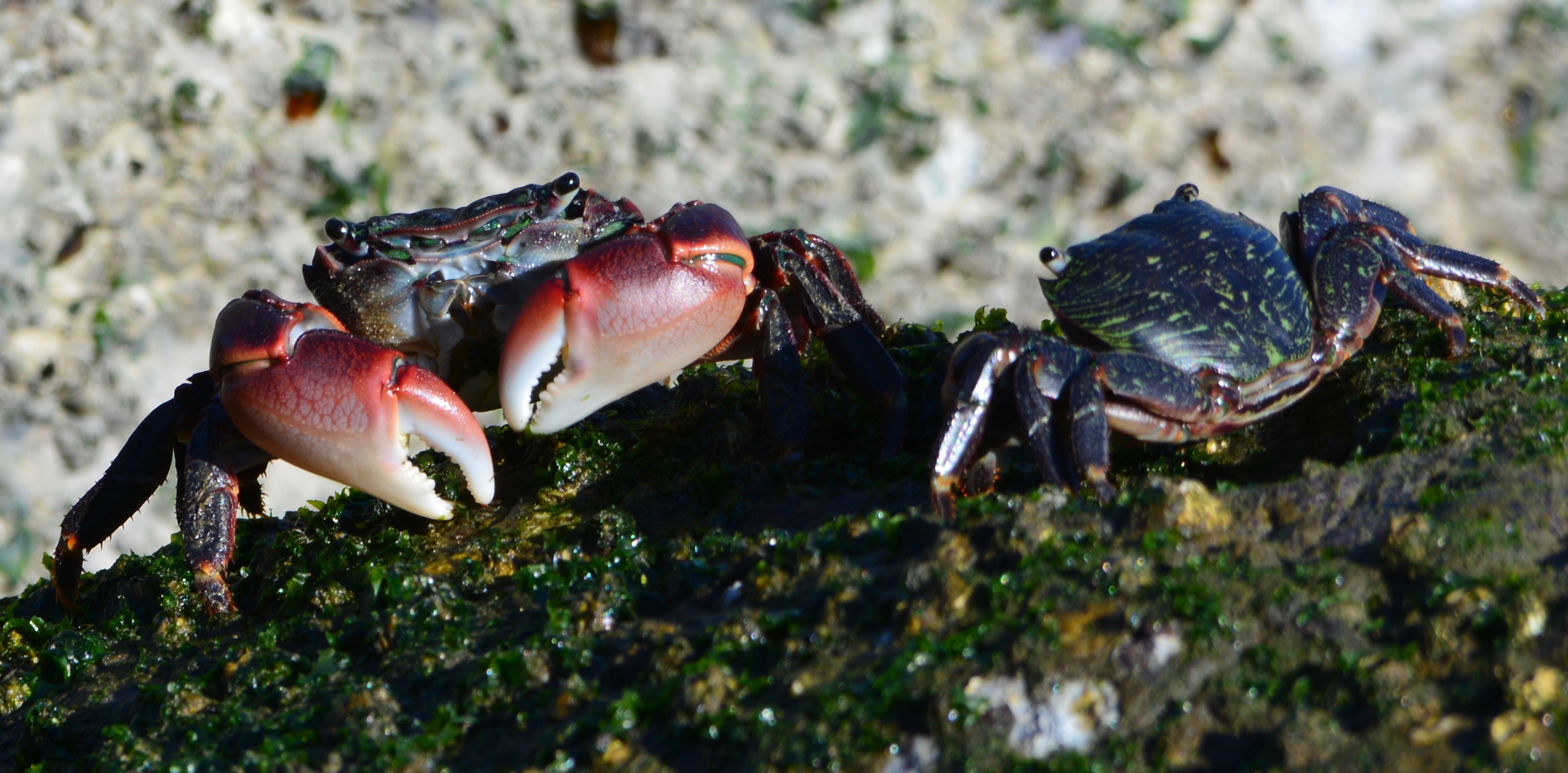 Photo by Richard Bangert  Two striped crabs eating their greens on the Crab Cove breakwater. Note their eyes, which they can raise out of their sockets. The large crab is about three inches wide.
