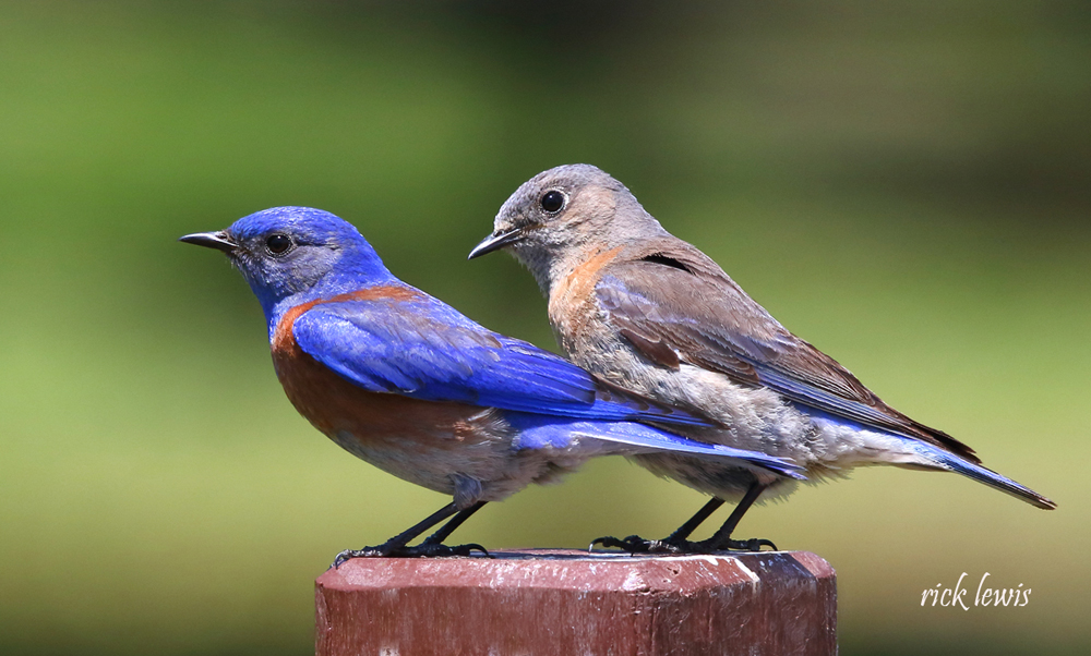 Rick Lewis &nbsp&nbsp The western bluebird male (left) and female make an attractive pair in Island City yards. The birds need specific kinds of nests in which to live and happily adapt to using human-created nest boxes.