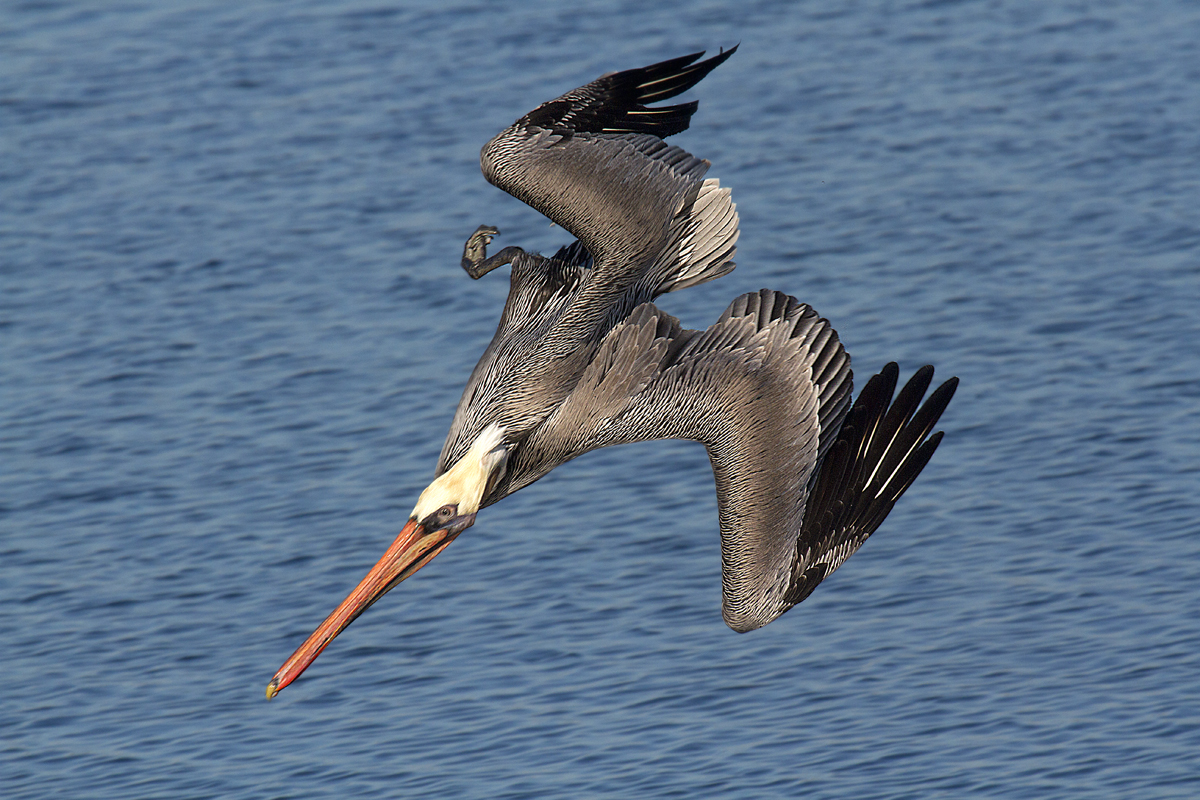 Rick Lewis &nbsp&nbsp A brown pelican dives for a meal off the shores of Alameda in San Francisco Bay.