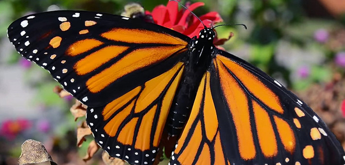 """Courtesy NFWS  Learn to make your garden into a habitat for butterflies and other pollinators at Plowshares Nursery's workshop """"Habitat Garden"""" Saturday, July 23."""