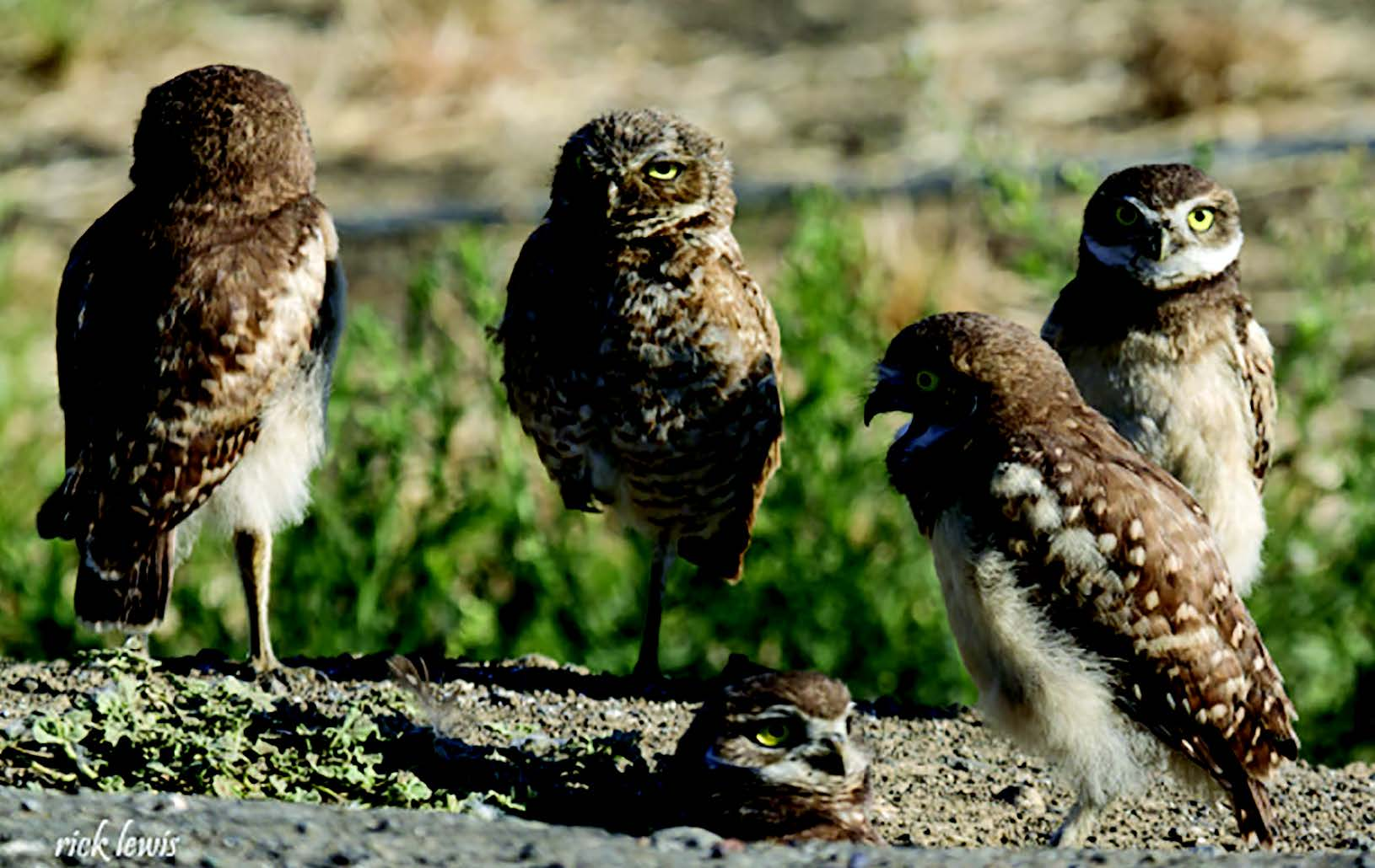 Rick Lewis This burrowing owl family calls the Central Valley home. Families of owls like these once lived in Alameda.