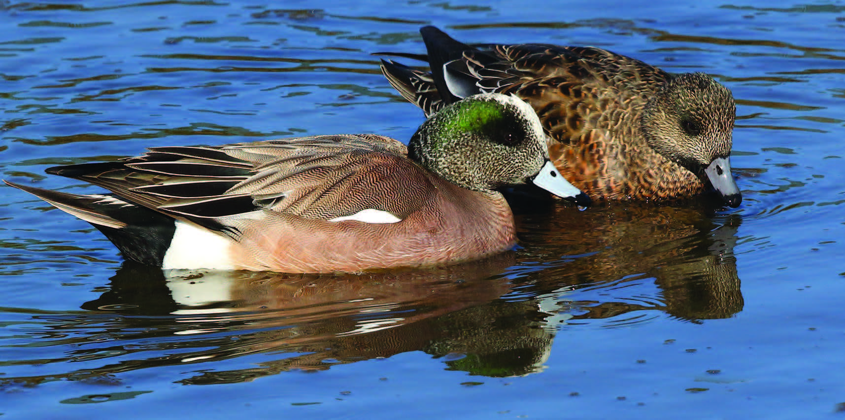 Rick Lewis When male and female American wigeons breed, they build nests as slight indentations in tall grass or under low shrubbery. They line the nests with grass and down pulled from the female's breast.