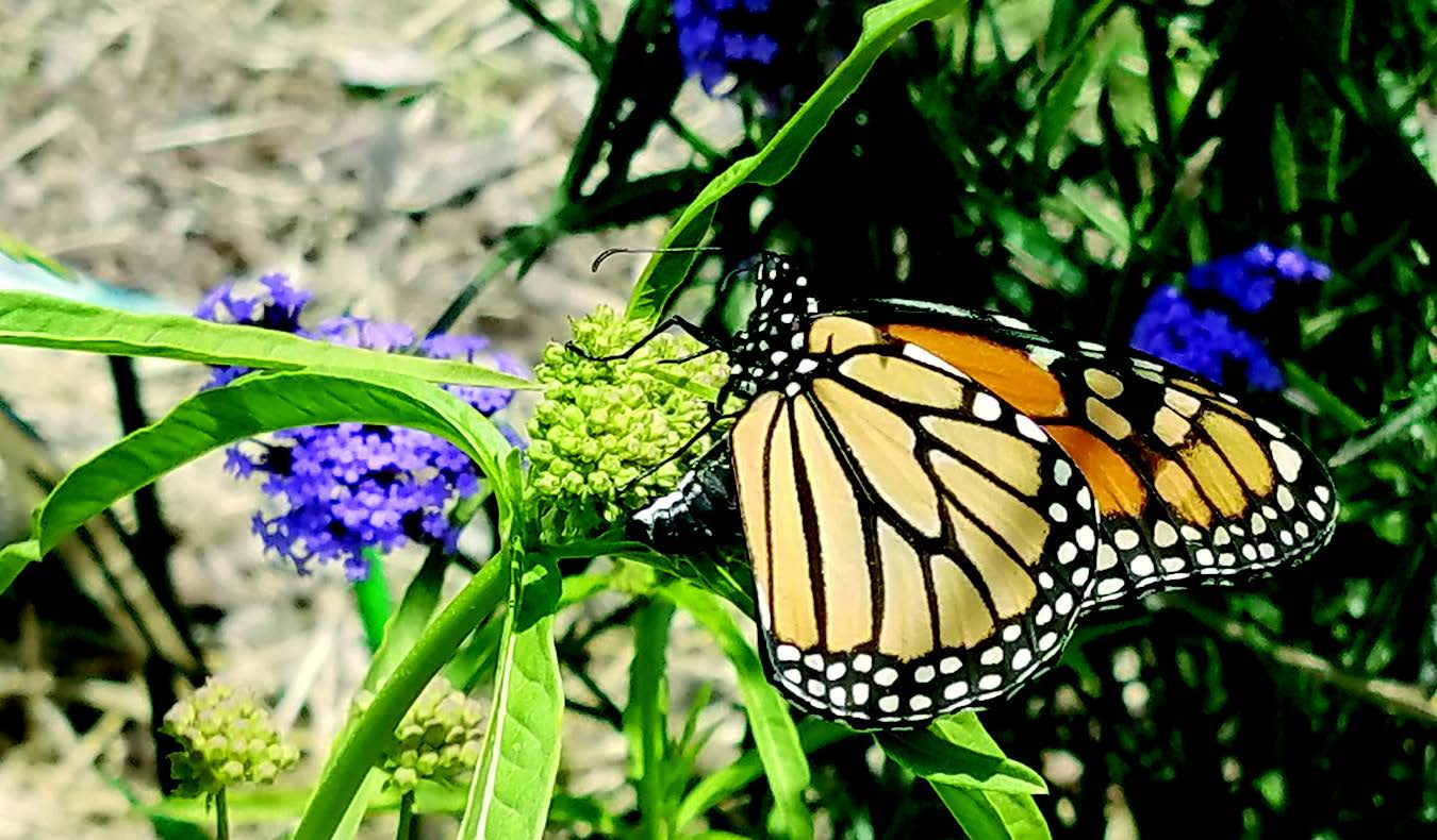 A monarch butterfly laying its eggs in an Alameda garden