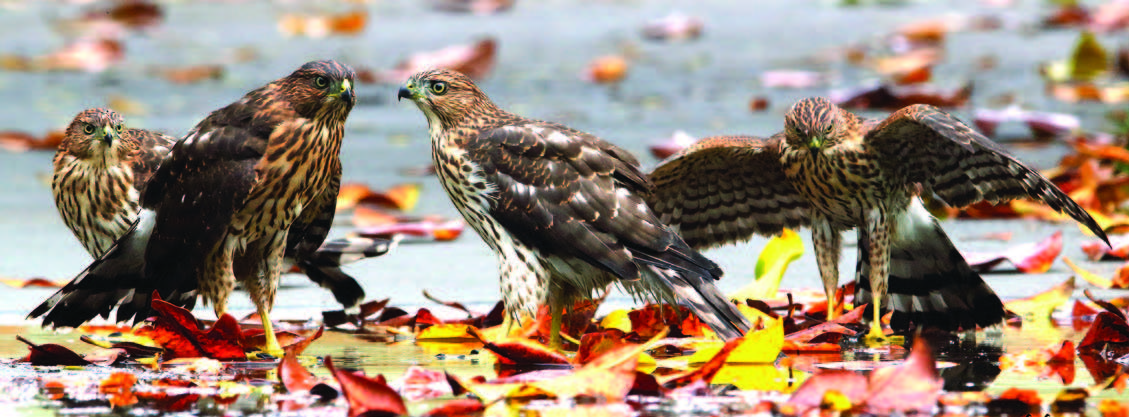 Four juvenile Cooper's Hawks play in a puddle near Chochenyo Park.