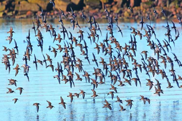 Shorebirds' aerial displays make for exciting watching as they rise in large groups and flash from light, to dark, and light again as they fly in tight formations designed to evade predators.