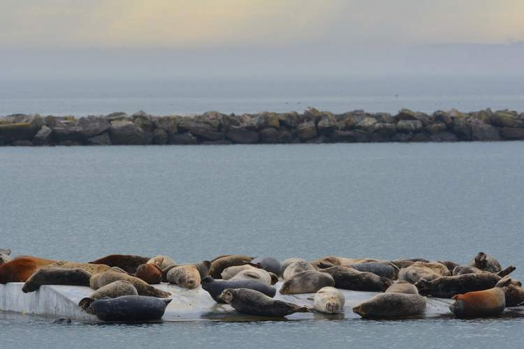 Photos by Richard Bangert &nbsp&nbsp Some 45 harbor seals rest on the float near Alameda' Breakwater Beach last Thursday. A record 73 seals made the float home on Christmas Eve and Christmas Day.