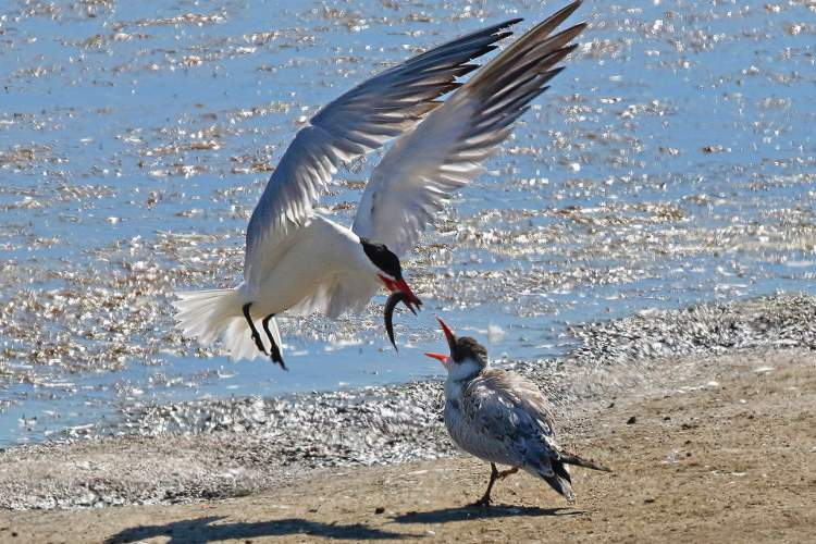 Rick Lewis &nbsp&nbsp A Caspian tern feeds its young at a beach in Alameda. Caspian tern families with fledglings showed up at Crab Cove, the Elsie Roemer Bird Sanctuary and the San Francisco Bay side of Bay Farm Island this year before leaving for their winter locations in South America.