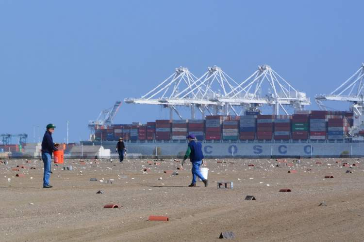 A container ship and the cranes across the Oakland Estuary provide a backdrop for the volunteers cleaning the least tern refuge at Alameda Point. Training sessions for new volunteers are on the calendar. Photo by Richard Bangert