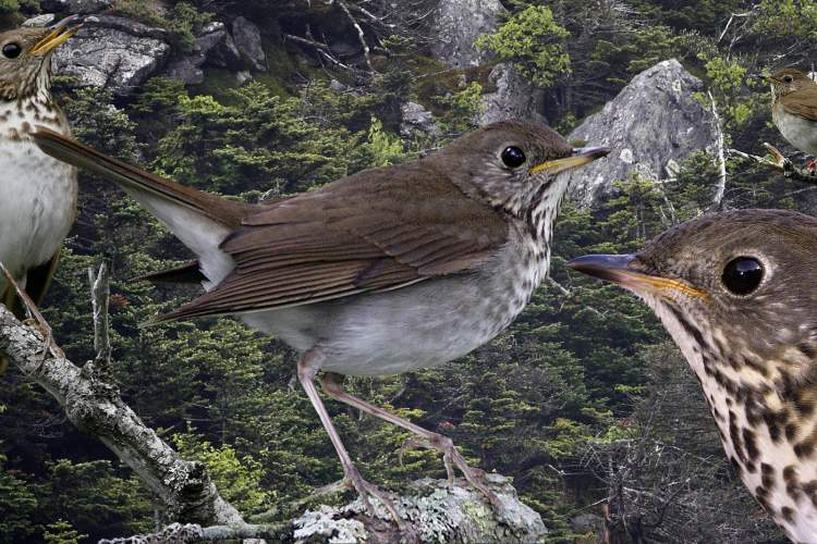 "Richard Crossley &nbsp&nbsp Bicknell's thrush song is flute-like. High pitched and vibrant, the song is composed of four phrases: ""chook-chook, wee-o, wee-o, wee-o-ti-t-ter-ee."""