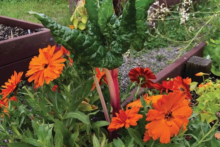 Kristen Smeal &nbsp&nbsp Companion plants thrive in St. Philip Neri garden.