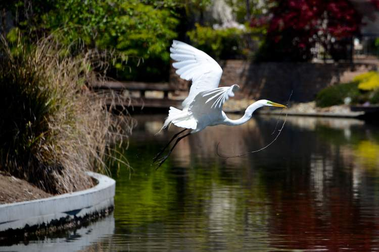 Leigh Anne Stump. A great egret flies over the Bay Farm lagoons with some building material for its new nest.