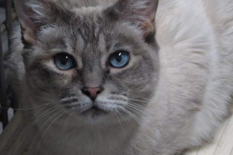 Courtesy photo - Silver is a senior cat who's been at the shelter a long time. Will you be the one who rescues her?