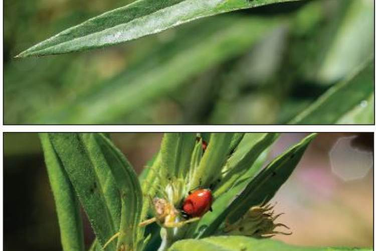 Larva and pupae of green lacewings, top, and a ladybug feeding on aphids. Awareness of the larva, pupae and food like aphids will help critters like the lacewing and ladybug survive.