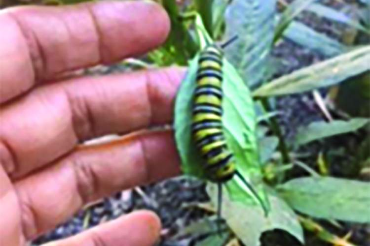 Courtesy photos &nbsp&nbsp This caterpillar will one day transform into the monarch butterfly.