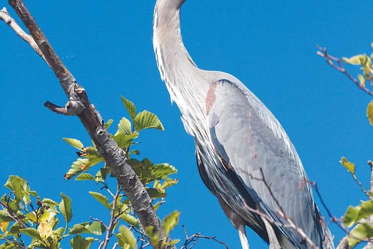 Rick Lewis &nbsp&nbsp A great blue heron perches high in a tree.