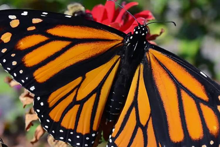 "Courtesy NFWS  Learn to make your garden into a habitat for butterflies and other pollinators at Plowshares Nursery's workshop ""Habitat Garden"" Saturday, July 23."