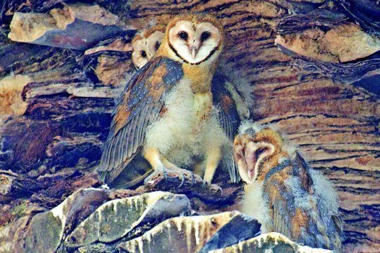 Rick Lewis A trio of barn owls blend into the landscape. These owls make their homes in the Canary Island palm trees here in Alameda