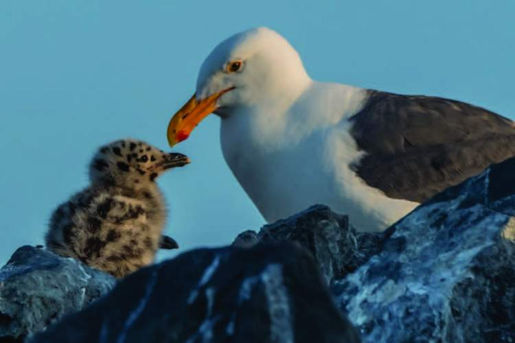 A mother gull nurses her young. These birds nest in secluded colonies away from predators. They choose places like the Farallon Islands, rather than Alameda.