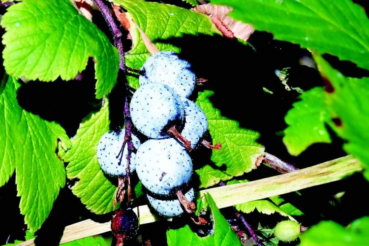 Dave Grainger    Ribes sanguineum berries are delicious treats for local avians.