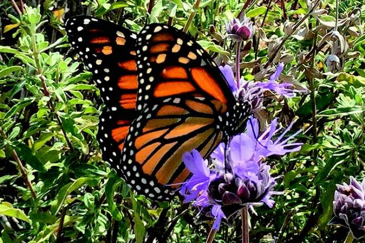 Wikipedia A Monarch butterfly gathers nectar from sage plants. Alamedans hope to attract more of these beauties to Jean Sweeney Open Space.