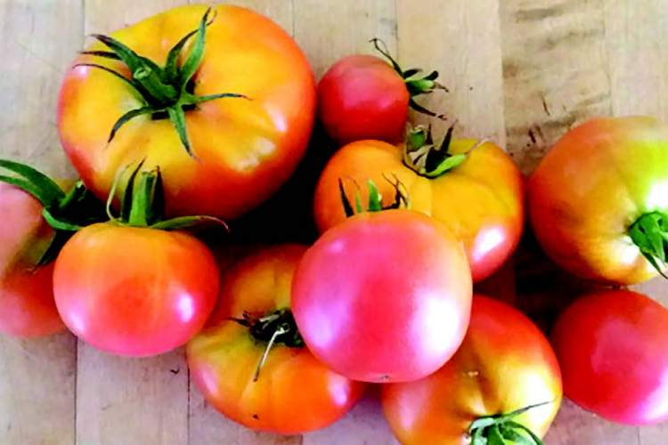 Above, the fruity flavor of Rose de Berne tomatoes like these make them favorites for sandwiches.