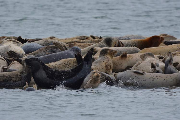 Richard Bangert &nbsp&nbsp The specially built float at Alameda Point cannot be seen under a resting pod of harbor seals on Dec. 29.  A cloudy sky revealed the seals' coats' array of colors.