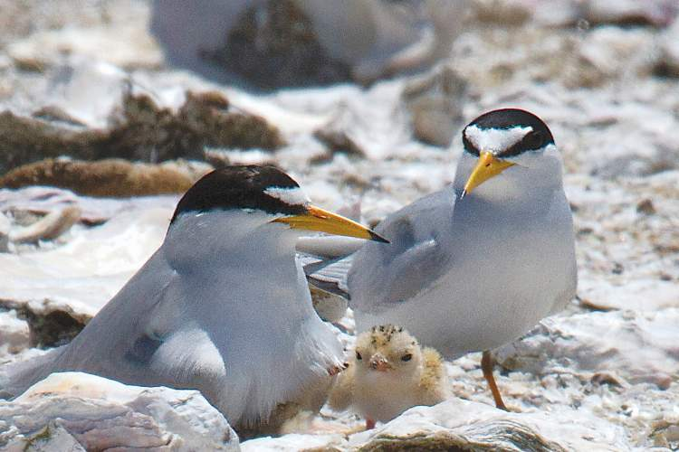 Rick Lewis &nbsp&nbsp A least tern family nests at Alameda Wildlife Reserve.