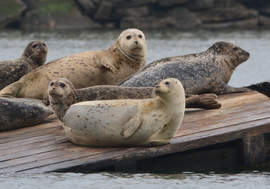 File photo &nbsp&nbsp&nbsp A pair of walks coming up will feature viewings of Alameda's resident harbor seals. Join Crab Cove for a naturalist walk on Sunday, Sept. 3, and Alameda Walks for a history-themed walk of the same area Saturday, Sept. 9.