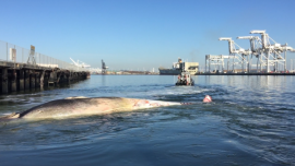 A tugboat tows the carcass of a whale from the Oakland Estuary to Angel Island where a team of 14 scientists performed a necropsy. They determined that the whale died after being struck by a ship. The carcass was then dragged into the estuary where it came to rest at the Mariner Square Drystack and Marina at the foot of Mariner Square Drive.