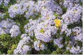 Birgitt Evans Many insects like this honey bee rely on the early flowers of native Ceanothus bushes.