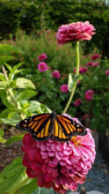 Butterflies are attracted to red, orange, yellow and purple flowers, but they need more than just plants to survive. All their needs can be satisfied in a small corner of any garden.