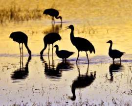 """Courtesy Photo &nbsp&nbsp A discussion of Tom Debley's wildlife photography will take place a the West End Library next Thursday, Oct. 24, at 7 p.m. Left, Debley's photo titled """"Silhouettes at Sunset"""" captures sandhill cranes and snow geese in Bosque del Apache National Wildlife Refuge, New Mexico."""
