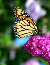 Courtesy photo  Learn about the magnificent monarch butterfly at the Main Library Sunday, Oct. 23