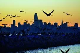 Richard Bangert &nbsp&nbsp California brown pelicans gather along the breakwater during sundown at Alameda Point.