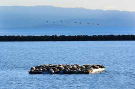 Richard Bangert  Pelicans make their way across San Francisco Bay as some 70 harbor seals warm up in the sun on the south side of Alameda Point. The seals are taking their ease on a first-of-its-kind concrete and Styrofoam float provided by the Water Emergency Transportation Authority, which is constructing a ferry maintenance facility nearby.