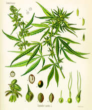 Courtesy alaskapublic.org  Scientists and medical health professionals are just starting to wrap their brains around all the health benefits of the cannabis plant. According to the doctors at Calyx Health, it's important to stay open minded about the possibilities of how the much-maligned plant can help with pain, lack of appetite and many other symptoms. As CBD products continue to reach the marketplace, it may be helpful to discuss their specific applications with a health professional before using them.