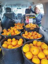 Courtesy photo &nbsp&nbsp Jillian Saxty, ABG's Project Pick coordinator, displays some 400 pounds of Alameda-grown oranges delivered to Alameda Food Bank recently. Project Pick will safely pick fruit from Island trees that would otherwise go to waste. Fruit tree owners are encouraged to sign up.