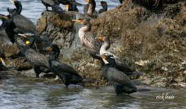 Rick Lewis &nbsp&nbsp Adult double-crested cormorants have black plumage with dark grey wings and juveniles have lighter grey-brown plumage.