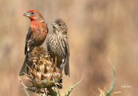 Rick Lewis &nbsp&nbsp The brightly colored house finch is known to frequent feeders on both the east and west coasts. The males feature red plumage that attracts their plainer mates.
