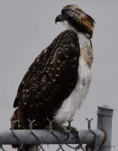 Richard Bangert  A two-month-old osprey perches on the protective fence across the jetty at the Seaplane Lagoon in July, looking back toward nest. White wing tips and orange buff neck coloring are indicative of a juvenile osprey.