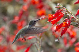 Rick Lewis &nbsp&nbsp Anna's Hummingbird, Calypte Anna, helps itself to lunch. The birds are sighted in Alameda frequently.