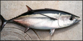 Ever hear the one about the evil tuna? He was rotten to the albacore. File photo