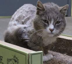 Courtesy photo - Misty, along with some 40 other cats, found a new home this weekend thanks to the Maddie's Adoption event held at the Alameda Animal Shelter.