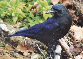 """Rick Lewis &nbsp&nbsp The American crow frequents many parts of Alameda, roosting in the tallest trees and calling to each other in loud """"conferences."""""""