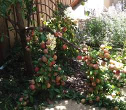 Marla Koss &nbsp&nbsp On July 9, 2019, two grafts of a 4-in-1 pluot tree collapsed from the weight of the fruit, several weeks before it was mature enough to ripen off the tree. The branches (grafts) were repaired, but the fruit was lost. This year, the tree's crop is very scant.