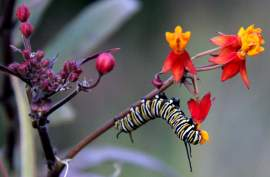 Courtesy photo &nbsp&nbsp Desirable insects such as this monarch butterfly caterpillar, are especially susceptible to neonic pesticides. The substances are also toxic to birds.