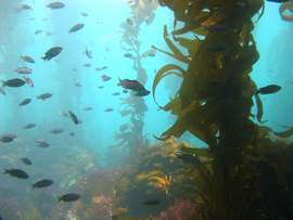Courtesy photo &nbsp&nbsp  Kelp provides habitat for many ocean species. Oyster, mussels, scallops and clams all thrive in a natural kelp forest. As a result, shellfish farmers have increasingly been turning to kelp to create ideal conditions to grow food.