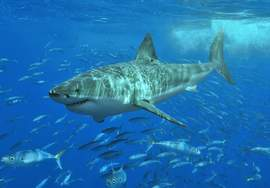 Courtesy www.PBS.org &nbsp&nbsp The great white shark is a top predator in the ocean ecosystem. Lately, their numbers have been increasing, but the fish is widely misunderstood.