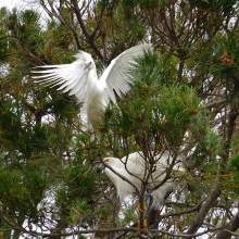 Leigh-Anne Stump Snowy egrets with their distinctive yellow feet and head plumage roost in trees on Bay Farm Island