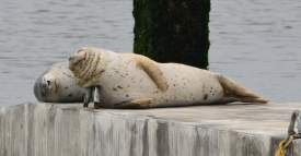 Richard Bangert  Two harbor seals sleep on the new float provided by the Water Emergency Transportation Authority. The metal grab hooks on the float were installed so that the fabricator could lower the float into the water. Once the float is anchored at its permanent location, the hooks will be removed and the voids grouted, although the seals like using them as pillows. One side of the float has a ramp for easy access.